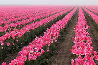 Field of pink tulips on a foggy morning, Skagit Valley, Washington, USA