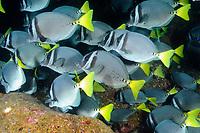 School of razor surgeonfish (scientific name: Prionurus laticlavius), Galapagos archipelago, Ecuador, east Pacific Ocean