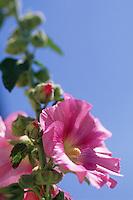 Europe/France/Poitou-Charente/17/Charente-Maritime/Ile de Ré: Roses trémières dans les rues