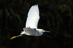 Snowy Egret in Flight Sepulveda Wildlife Refuge Southern California