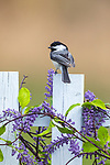 Black-capped chickadee perched on a backyard fence.