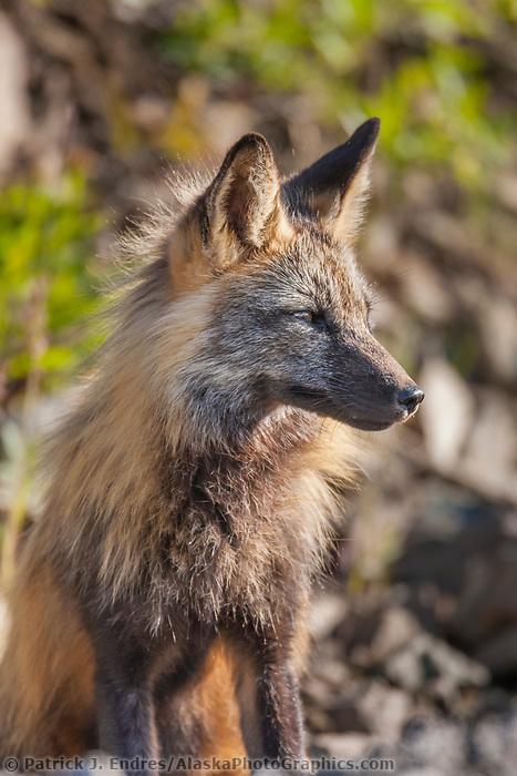Cross fox in morning sunlight, Denali National Park, Interior, Alaska.
