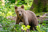 Eurasian brown bear (Ursus arctos arctos), cub, in the forest of Notranjska or Inner Carniola, Slovenia, Europe