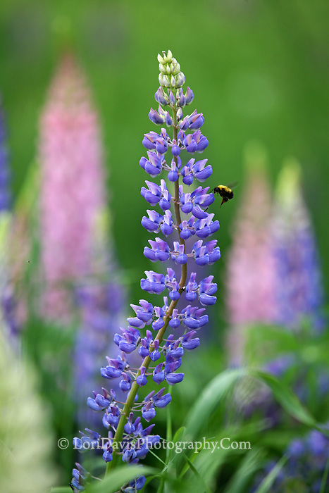 Lupine With Bumble Bee  #F33