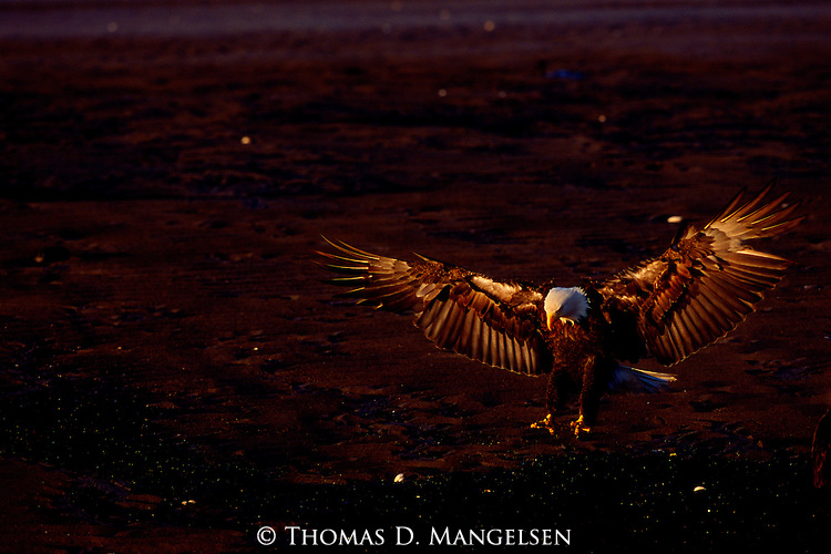 Still showing signs of light patches on the underside of its wings, this juvenile bald eagle tests his flight feathers as he spreads his wings and extends his legs for landing in Southcentral Alaska.