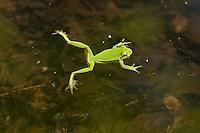 Europäischer Laubfrosch, Laub-Frosch, Laub - Frosch, Hyla arborea, European treefrog, common treefrog, Central European treefrog