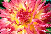 Dahlias variety Pinelands Pam. Swan Island Dahlia Farm. Oregon