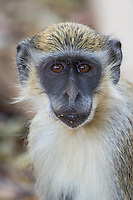 Green Monkey at Niokolakoba Nature Reserve in Senegal
