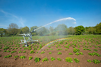 Rain gun irrigating emerging potatoes - Norfolk, May