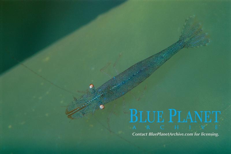Chameleon prawn, Hippolyte varians, on seasquirt, Ciona intestinalis, ÿygarden, Norway, North Atlantic Ocean