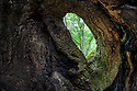View from inside an ancient hollow ash tree (Fraxinus excelsior). Fineshade Woods, Northamptonshire. 'Roots of Rockingham', a Back from the Brink project site.