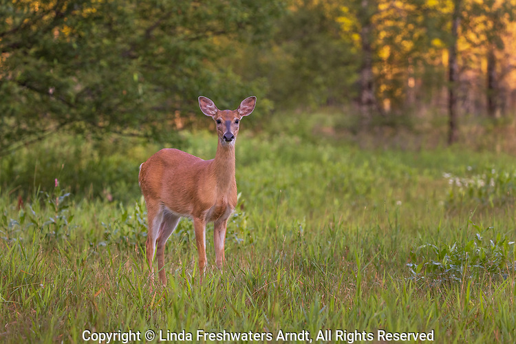 White-tailed doe in a northern Wisconsin meadow.