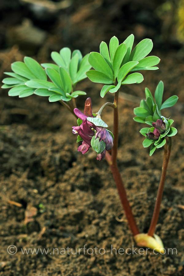 Mittlerer Lerchensporn, Corydalis intermedia, Corydalis fabacea, intermediate corydalis, La Corydale intermédiaire
