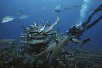 Diver observing Whitetip Reef Sharks (Triaenodon obesus) hunting Surgeonfish in coral, Cocos Island, Costa Rica - Pacific Ocean