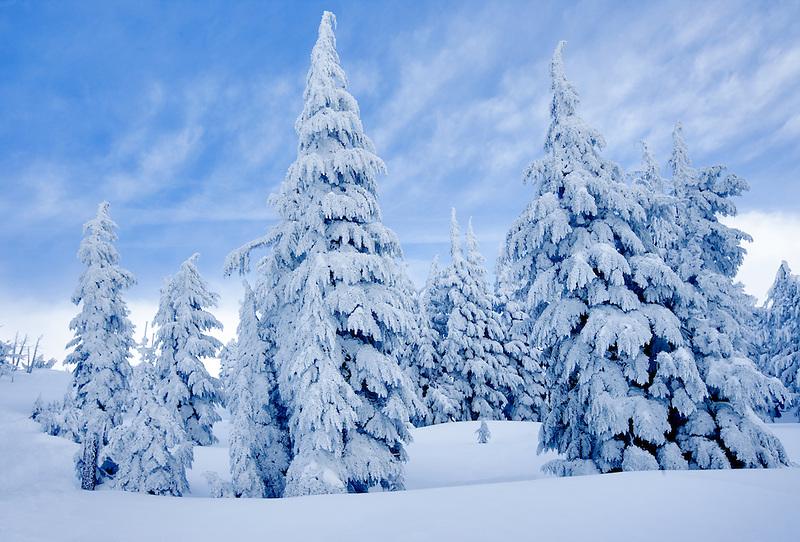 Snow coverd trees near Timberline Lodge, Oregon