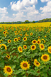 Sunflowers everywhere in this field in full bloom