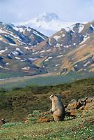 Hoary Marmot on mountain ridge, Denali National Park, Alaska.
