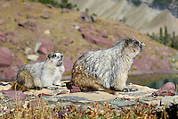 Hoary Marmots (Marmota caligata) greeting--younger one (on right) with adult.  Northern Rocky Mountains.  Sept.