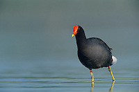 Common Moorhen, Gallinula chloropus,adult, Welder Wildlife Refuge, Sinton, Texas, USA, May 2005