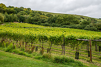 BNPS.co.uk (01202 558833)<br /> Pic: MaxWillcock/BNPS<br /> <br /> Pictured: Simon and Karen Priestman's vineyard.<br /> <br /> A bio-dynamic vineyard has found a way to use the perfect pairing of cheese and wine to protect its grapes.<br /> <br /> Little Waddon Vineyard is trialling using whey left over from the cheese-making process as a natural fungicide to treat downy mildew.<br /> <br /> The organic vineyard in Dorset decided to give the new method a try after a wet and dismal summer saw its vines get infected.