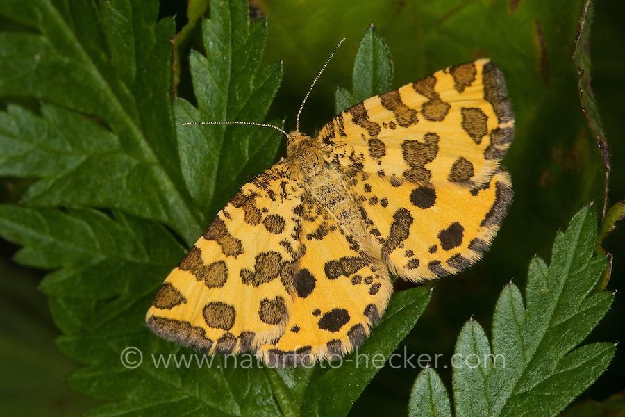 Fleckenspanner, Flecken-Spanner, Panther-Spanner, Pantherspanner, Pseudopanthera macularia, Speckled Yellow, Spanner, Geometridae