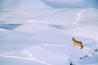 Coyote (Canis latrans) checking out other animal tracks on frozen river bed.  Western U.S., winter.