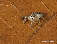 1001-06zz  Jumping Spider - Family: Salticidae - © David Kuhn/Dwight Kuhn Photography