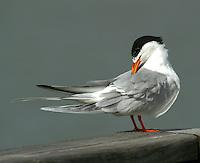 Adult Forster's tern in breeding plumage preening