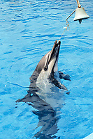 short-beaked common dolphin, Delphinus delphis, performs ringing bell, Napier, New Zealand, (c)