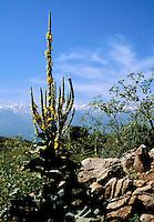 Orange mullein, Verbascum phlomoides, with the White Mountains in the background, Crete, Greece