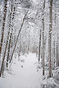Snow covered forest along the Hancock Loop Trail in the White Mountain National Forest of New Hampshire during the winter months.