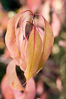 Euonymus Bungeanus 'Dart's Pride'