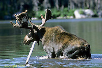 MS01-017z   Moose - bull (male) feeding at Sandy Stream Pond in Baxter State Park, Maine - Alces alces