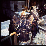 Jakarta, Indonesia. August, 2000. An eagle sits perched for sale in Jalan Balito, Jakarta. The illegal animal trade has flourished since Suharto resigned from office in 1998 a result of the Asian economic crisis. The eagle ranges in prices from $25 to $50 US dollars.