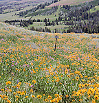 Empty Sign. Fields of Balsamroot, Arnica, and Goldeneye paint the Yellowstone mountainsides near Dunraven Pass yellow in late July.  Grand Loop Road, Yellowstone National Park, blanketed in wildflowers in late July.