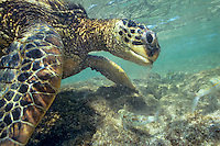 Green Sea Turtle (Chelonia mydas) feeding on algae underwater.  Hawaii.