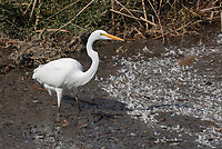 Great Egret, Ardea alba, hunting at the edge of a marsh in Colusa National Wildlife Refuge, California