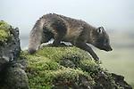 .Renard arctique, le seul mammifere habitant l Islande avant l arrivee de l homme.