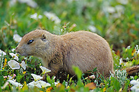 Black-tailed Prairie Dog (Cynomys ludovicianus) among morning-glory wildflowers.