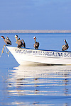 Brown Pelicans On Boat
