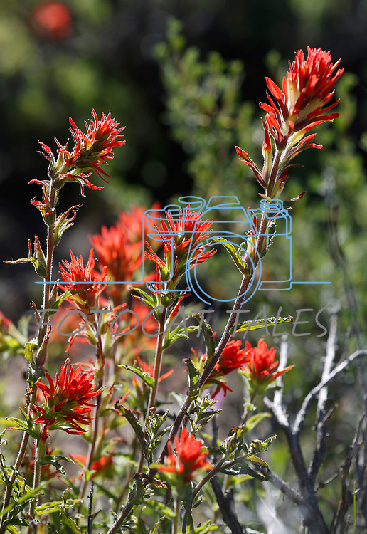 Indian Paintbrush blooms along the Leviathan Peak Loop, near Markleeville, Ca., on Saturday, July 7, 2019.<br /> Photo by Cathleen Allison/Nevada Momentum