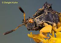 AM10-519z  Ambush Bug, male face, close-up of eyes, beak and antennae, Phymata americana