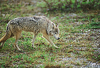 Gray wolf walks across the summer tundra in a light rain, Denali National Park, Alaska