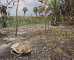 A turtle shell lays in the scene of a wildfire on the shores of Lake Okeechobee, Florida. ..In June of 2007 the state of Florida is experiencing one of the worst droughts in modern history. Lake Okeechobee is at a record low. The South Florida water management is using this opportunity to clean up the lake. After years of abuse the phosphorous laden lake bottom is being scrapped clean. The muck has been created because of the dairy farming and agricultural uses of the surrounding  land. Many are to blame.