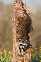 Northern Raccoon (Procyon lotor), adult in tree, Sinton, Corpus Christi, Coastal Bend, Texas, USA