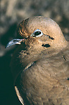 16075-FN Morning Dove, Zeniadura macroura, portrait, shows thin feathers over opening of ear behind eye, in January at Palm Springs CA, USA