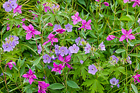 Wild geranium and dwarf fireweed wildflowers, Prince William Sound, Alaska