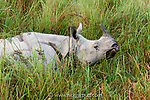 Male great one-horned or Indian rhinoceros (Rhinoceros unicornis). Kaziranga National Park, Assam, India.