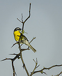 Yellow-breasted Chat on the prairie