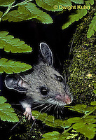 MU29-034z   Deer Mouse - immature young five weeks old -  Peromyscus maniculatus